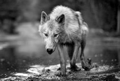 #wolf #canine #wild #nature #animal #animals