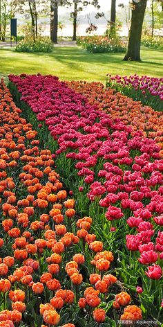オランダ キューケンホフ公園(Keukenhof the Netherlands) Tulips, Netherlands, Holland, Gardens, Spring, Places, Nature, Flowers, Travel
