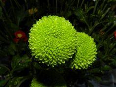 chrysanthemum santini (crisantem de botó)