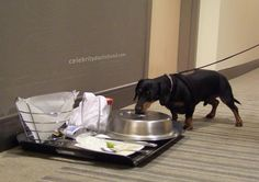 Hey can you believe this? Someone forgot their dinner on the floor... - photo via Crusoe the Celebrity Dachshund