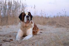 Simply Canine — St. Bernard