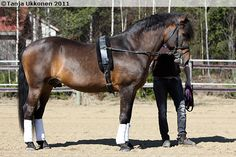 Finnhorse stallion Hermeli is a very successful in showjumping and as a breeding stallion.