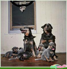 Cattle dog family