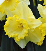 Pale Yellow Daffodil...reminds me of Bekah ♥