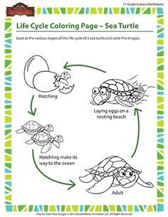 The sea turtle is a fascinating creature who starts life in the safety of a nesting beach and eventually reaches the sea, dodging all kinds of predators in the process. Help your first grader become better acquainted with the different stages of the sea turtle's life cycle with this coloring printable.