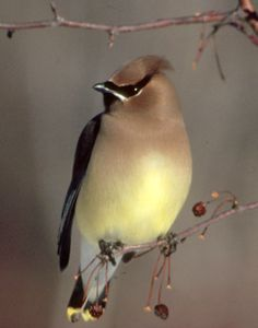 cedar waxwing images - Google Search  Watching these outside my window today.  :)