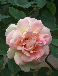 ~'Frühlingsduft' rose, 1949