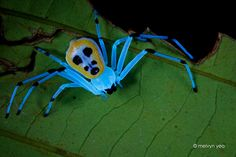 Platythomisus sp. under UV light by melvynyeo.deviantart.com on @DeviantArt