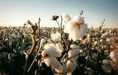 A produção global de algodão-caroço no país relativa à campanha agrícola finda aponta para números não superiores a cem mil toneladas daquele produto estratégico para a economia.  http://www.clubofmozambique.com/pt/sectionnews.php?secao=economia&id=26634&tipo=one