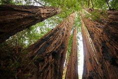 Ready to check out this amazing natural wonder for yourself? Sequoia Sempervirens, Parc National, National Parks, Big Basin Redwoods, Sequoiadendron Giganteum, Tree Seedlings, Redwood Forest, Pine Forest, Tree Seeds