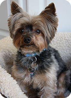 Greensboro, NC - Yorkie, Yorkshire Terrier. Meet Zipper a Dog for Adoption.