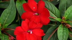 Impatiens Compact Red