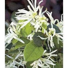 3-Gallon White Emerald Snow Loropetalum (L23336)
