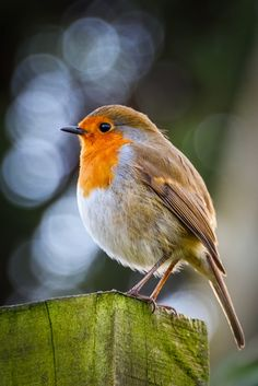Photograph Robin on a Post II by Gerard Callaghan on 500px Small Birds, Colorful Birds, Little Birds, Love Birds, Beautiful Birds, Robin Drawing, Robin Tattoo, European Robin, Fat Bird