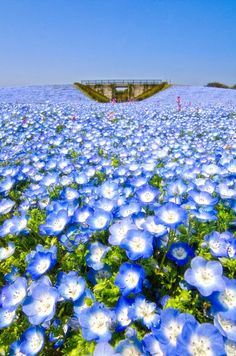 Flower Seeds - Flower Baby Blue Eyes - Super Easy to Grow! Beautiful Flowers, Beautiful Places, Japon Tokyo, Lake Photography, Good Morning Flowers, Field Of Dreams, Kodak Moment, Shade Trees, Blue Dream