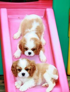 Cavalier King Charles Spaniel Puppies, we are going to do it, we are going to do it.just working ourselves up Puppies And Kitties, Cute Puppies, Cute Dogs, Doggies, King Charles Puppy, Cavalier King Charles Spaniel Puppy, Baby Animals, Cute Animals, Cockerspaniel