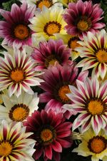 Drought tolerant, Gazanias excel in beds, containers and hanging baskets and can also be used as edgings or groundcovers.