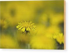 Yellow On Yellow Dandelion Wood Print by Christina Rollo.  All wood prints are professionally printed, packaged, and shipped within 3 - 4 business days and delivered ready-to-hang on your wall. Choose from multiple sizes and mounting options.