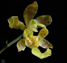 Flower-detail of Psychopsiella limminghei [In Side-view]