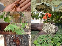Medicinal Rice Formulations for Diabetes Complications, Heart and Liver Diseases (TH Group-66) from Pankaj Oudhia's Medicinal Plant Database