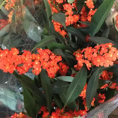 This orange spray Euphorbia though.I walked past it and had to stop 💜 Fall Flowers, Orange Flowers, Flora, Plants, Beautiful, Autumn Flowers, Orange Blossom, Plant
