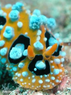 Google Image Result for http://www.starfish.ch/Fotos/molluscs-Weichtiere/nudibranchs-Nacktschnecken/Doridina/Phyllidiidae/Phyllidia-ocellata1.jpg