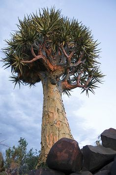 Quiver Tree (Aloes), Namibia | Flickr - Photo Sharing!