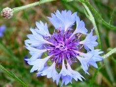 Kalendář sběru planých léčivek je nepostradatelný pomocník bylinkářů | | MAKOVÁ PANENKA Plants, Flora, Plant, Planting