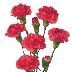 Hot Pink Mini Carnation Flowers