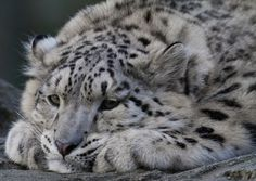 Clouded Snow Leopard Cub Looking a Bit Low. Big Animals, Animals Images, Animals And Pets, Big Cats, Cute Cats, Cats And Kittens, Siamese Cats, Beautiful Cats, Animals Beautiful