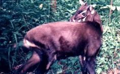"""The critically endangered saola known as the """"Asian unicorn"""".  Almost wiped out because of poaching"""