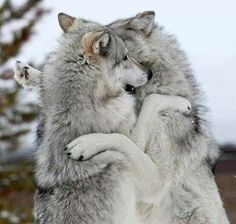 Playful Wolves Dancing