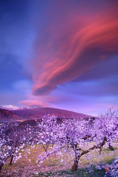 Lenticular clouds over Sierra Nevada and almonds Canvas Art Print