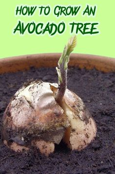 How To Grow An Avocado Tree. From gardenreboot.blogspot.com.
