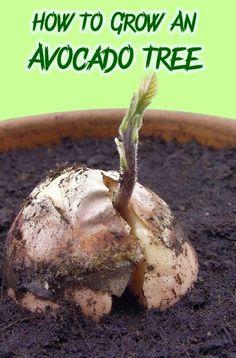 How To Grow An Avocado Tree. From gardenreboot.blogspot.com.