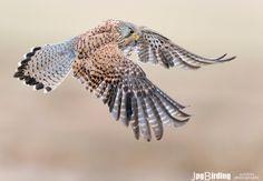 Common Kestrel in flight by jose pesquero on 500px