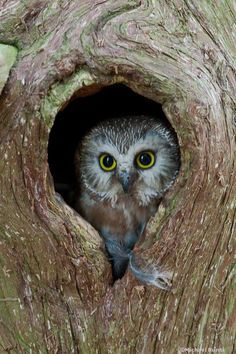 Some #Owls Just Don't Give a Hoot! Nature's Way by Michael Runtz. Not all owls have booming voices; our smallest owls don't even sound like owls, that is if you identify their group as one producing bombastic sounds.   Photo: All of our small owls, including Northern Saw-whet Owls, nest in tree cavities.  http://www.insideottawavalley.com/opinion-story/5480882-some-owls-just-don-t-give-a-hoot/