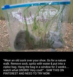 Wear an old sock over your shoe. Go for a nature walk. Remove sock, spritz with water & put into a ziploc bag. Hang the bag in a window for 2 weeks.watch what GROWS! Very cool science experiment for kids! Preschool Science, Science Resources, Science Classroom, Science Fair, Teaching Science, Science For Kids, Science Activities, Science Projects, Science Experiments