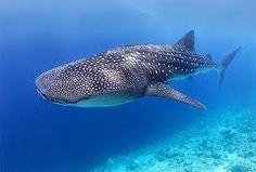 Tiburón Ballena, en Holbox.  Me voy a tomar una foto junto a uno!