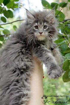 Maine Coon babe - Tap the link now to see all of our cool cat collections!