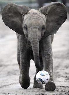 Baby elephant soccer star