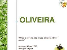 Resultado de imagem para oliveira arvore sagrada