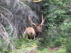 Finding Your Being: An Elk Encounter