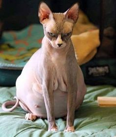 30 Sphynx Cats That Are Not Just Cool, They're Super-Cool – It's obvious that Sphynx cats have a unique and very cool look. Animals And Pets, Baby Animals, Funny Animals, Cute Animals, Cute Cats, Funny Cats, Photo Chat, Cat Photography, Beautiful Cats