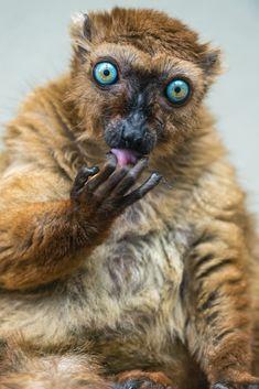 Lemur licking her fingers (by Tambako the Jaguar)