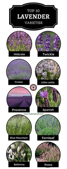 Lavender is one of the most popular small garden shrubs thanks to its wonderful scent and immense drought tolerance. They are perfectly happy in full sun and the deep purple flower spikes provide great color to your yard or balcony. Types Of Lavender Plants, Lavender Varieties, Types Of Herbs, Small Purple Flowers, Simple Flowers, Lavender Flowers, Potted Lavender, Lavender Ideas, Simple Flower Design