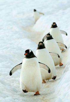 Penguins on parade Penguin Love, Cute Penguins, Penguin Craft, Animals And Pets, Funny Animals, Cute Animals, Mundo Animal, My Animal, Small Birds