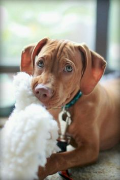 Dog Breeds Little Vizsla.Dog Breeds Little Vizsla Tiny Dog Breeds, Dog Breeds Little, Best Dog Breeds, Kittens And Puppies, Cute Puppies, Cute Dogs, Vizsla Puppies, Vizsla Dog, Outdoor Dog Toys
