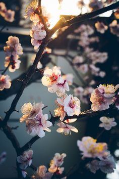 Cherry blossoms.. There is such a diversity of the cherry blossom season.. How nice that others capture them and share with us..