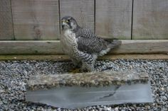 Cool frozen perch with pea gravel from the Mountsberg Raptor Centre, Ontario, Canada! Raptor Center, Outdoor Learning Spaces, Pea Gravel, Animal Care, Zoo Animals, Parrots, Animal Shelter, Pet Care, Pet Birds